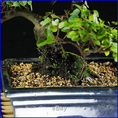 Sageretia Theezans Shohin Bonsai Tree Bird Plum # 2108_1