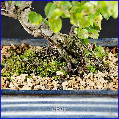 Sageretia Theezans Shohin Bonsai Tree Bird Plum # 3329_1