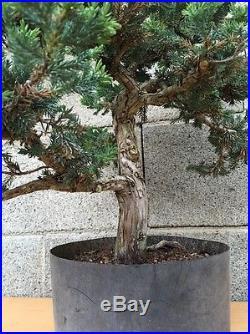 San Jose Juniper Pre Bonsai Tree 25 Yr Old Specimen Big Huge Thick Trunk Kifu
