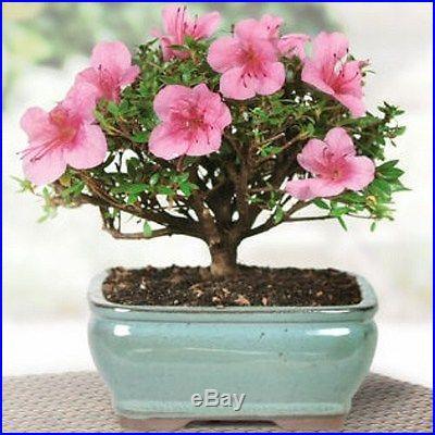 Satsuki Azaleas Bonsai Tree, Nice compact foliage and growth habit, NEW