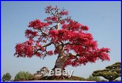 Schotia Afra Karoo Boer Bean Rare Tropical Plant Bonsai Tree Seeds (5)