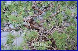 Scots Pine Bonsai Speciem