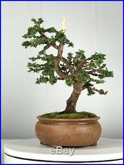 Sekka Hinoki Cypess Bonsai Tree