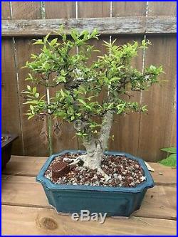 Semi Dwarf Water Jasmine (Wrightia Religiosa) Bonsai Tree 14 3 Nebari