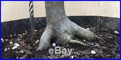 Seriyu Blue DragonJapanese Maple Pre Bonsai Tree Big Thick Trunk Lace Leaf