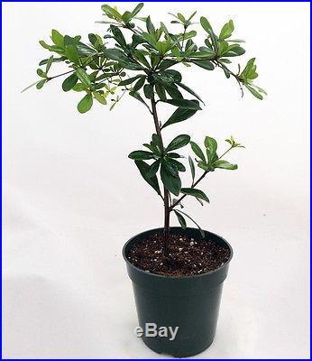 Shady Lady Black Olive Pre-Bonsai Tree Great Indoors 4 pot Bucida buceras