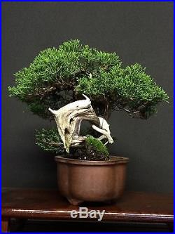 Shimpaku Bonsai Shohin Juniper