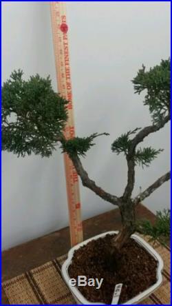 Shimpaku Bonsai Tree 35 Years Old #222