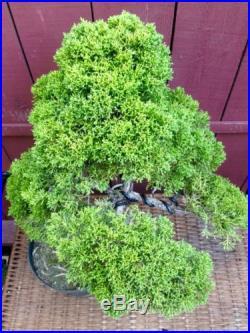 Shimpaku Chinese Juniper Bonsai Specimen