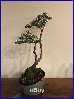 Shimpaku Juniper Bonsai Tree