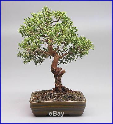 Shimpaku Juniper Bosai Tree