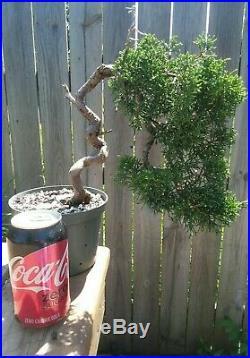 Shimpaku Juniper Juniperus chinensis'Kishu' Pre-Shohin Bonsai Movement Trunk