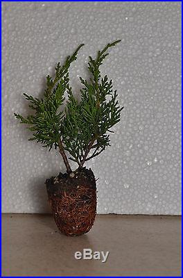 Shimpaku Juniper, Juniperus chinensis 'Shimpaku', Bonsai Starter Material