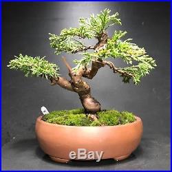 Shimpaku Juniper Mame Bonsai 5.5 Tall, Chinese High Quality Pot With Chop Mark
