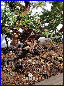Shimpaku Kishu Juniper Bonsai Tree