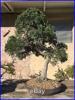 Shimpaku Kishu Juniper Bonsai Tree Japanese nanban ryugaku pot pine elm
