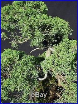 Shimpaku juniper Bonsai Japan Specimen