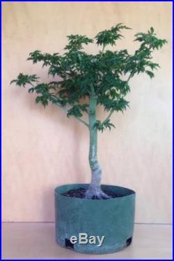 Shishigashira Japanese Maple Pre Bonsai Tree Barky Big Thick Trunk Specimen
