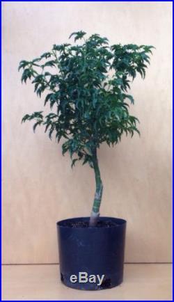 Shishigashira Japanese Maple Pre Bonsai Tree Barky Thick Trunk Shohin Kifu