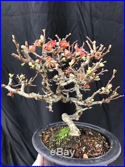 Shohin Chojubai Dwarf Flowering Quince Bonsai FREE SHIPPING