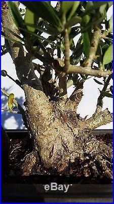 Shohin European Dwarf Olive Bonsai Tree