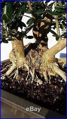 Shohin European Olive'Skylark' Dwarf Bonsai Tree