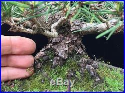Shohin Japanese Black Pine Bonsai