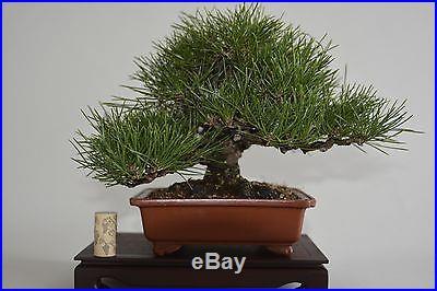 Shohin Japanese black pine bonsai. No reserve, best deal on ebay