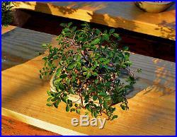 Shohin/Mame Cork Bark Elm Bonsai Tree (Excellent Corked Bark)