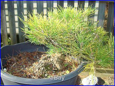 Indoor Bonsai Shohin Mikawa Japanese Black Pine Bonsai