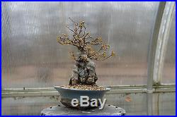 Shohin Root-Over-Rock Trident Maple Bonsai Acer Buergerianum