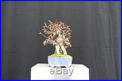 Shohin Root-Over-Rock Trident Maple Bonsai Acer Buergerianum FREE SHIPPING