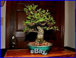 Shohin Seiju Elm Bonsai Tree (Fat Tapered Trunk)