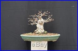 Shohin Sumo Trident Maple Bonsai Acer Buergerianum FREE SHIPPING