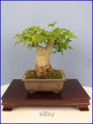 Shohin Trident Maple Specimen Bonsai Tree 2 Trunk! 5 Tall