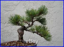 Shohin White Pine bonsai (Imported)