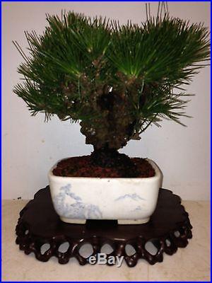 Shohin japanese black pine bonsai cork bark nishiki kuromatsu, wonderful tree