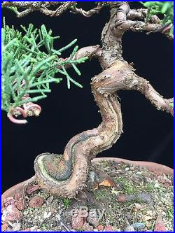 Shonin Itowigawa Shimpaku Juniper in Excellent Chinese Lotus Cloud Foot Pot