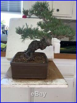 Show Bonsai Tree Five Needle Pine Japanese White Pine Miyajima-goyo 100yrs+old