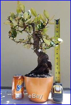 Silver Berry Bonsai Tree (Fruit Tree), Sale