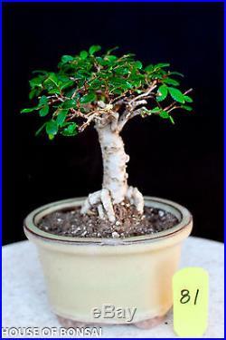 Small leaf'chinese elm shohin mame bonsai tree # 81