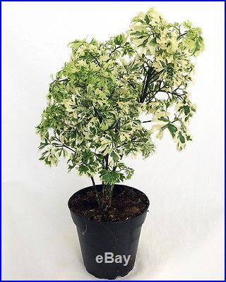 Snowflake' Ming Aralia Pre-Bonsai Tree Polyscias fruticosa Indoor 4 Pot