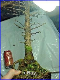 Specimen American Larch Tamarack Bonsai Tree 20 Tall Thick Knarly Trunk 30 yrs