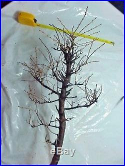 Specimen American Larch Tamarack Bonsai Tree 24 Tall Thick Knarly Trunk 30 yrs