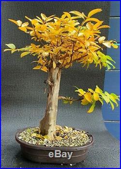 Specimen Bonsai Flowering Crape Myrtle Natchez Thick Trunk Peeling Bark