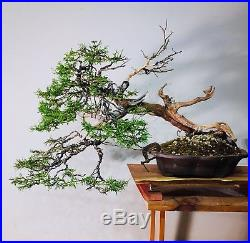 Specimen Bonsai Tree Collected Rocky Mountain Juniper Finished Tree