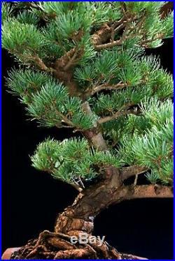 Specimen Bonsai Tree Five Needle Pine Japanese White Pine FNPST-1028