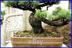 Specimen Bonsai Tree Five Needle Pine Japanese White Pine FNPST-411B