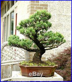 Specimen Bonsai Tree Five Needle Pine Japanese White Pine FNPST-411C