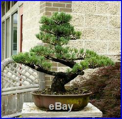 Specimen Bonsai Tree Five Needle Pine Japanese White Pine FNPST-411E